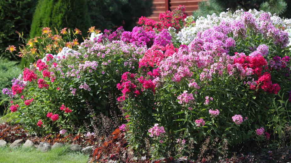 Kwiaty ogrodowe zimujące w gruncie, które utrzymują się wiele sezonów