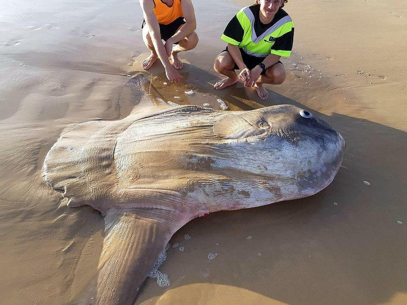Morze wyrzuciło rybę giganta. Co to jest?