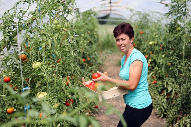 Gordana Glišić gaji volujsko srce, najslađi domaći paradajz
