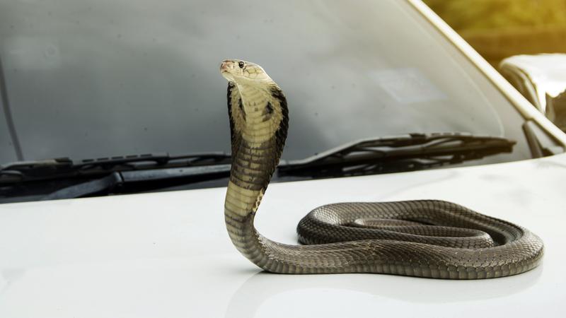 Kobra syjamska na masce samochodu