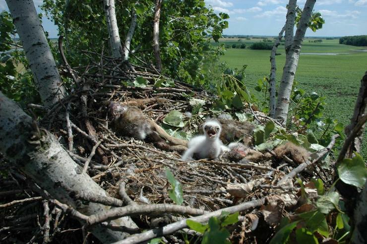 Jedini mladunac orla krstaša u Srbiji