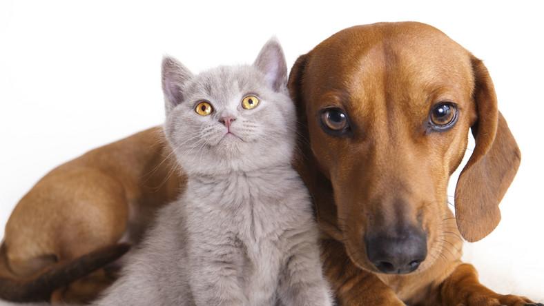 Mniej uczulają koty z białą sierścią