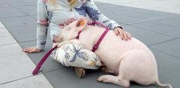 Ktoś ukradł Pupcię na Starówce. Co się stało ze świnką?