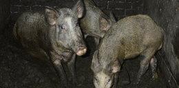 Świnia miała romans z dzikiem. A jej właściciel miał przez to problemy z prawem