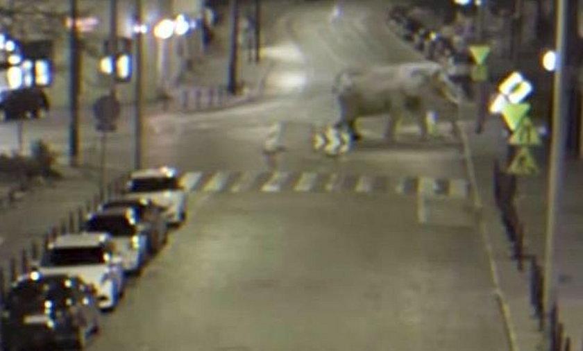 Słoń na poznańskiej Wildzie! O co chodzi?