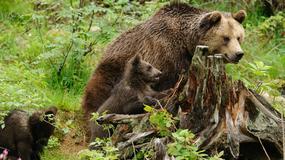 Czy wiedzieliście, że małe niedźwiadki rodzą się podczas snu zimowego?