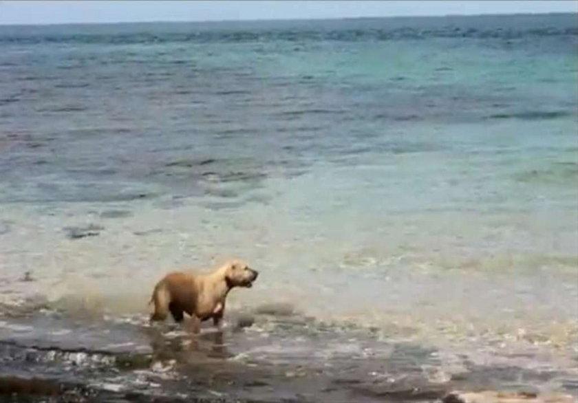 pies, rekin, Australia, ugryzł