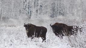 Żubry rozpoczęły wędrówkę do miejsc zimowania