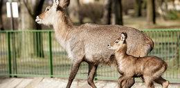 Ale słodkie! W zoo narodziły się zwierzęta