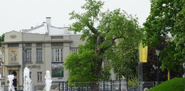 Żegnamy się z baobabem. Drzewo zostanie wycięte