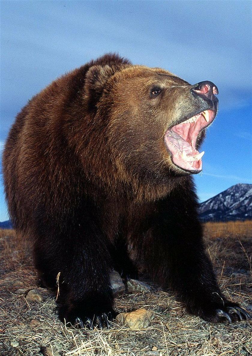 Zaatakował go niedźwiedź! Żyje!