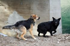 Banjaluka Psi lutalice