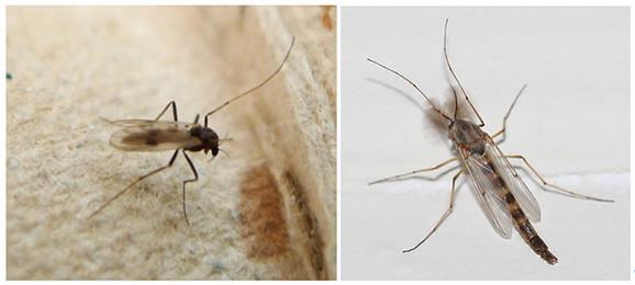 Biljni komarci ne hrane se krvlju