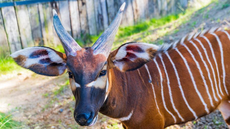 Warszawa: Wybierz imię dla małej antylopy bongo (zdj. ilustracyjne). Zoo ogłosiło konkurs