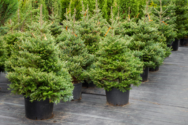 Sprzedawcy posiadający w ofercie świąteczne choinki (najczęściej są to świerki, jodły i inne drzewka iglaste) muszą posiadać dowód legalności pochodzenia drzewek