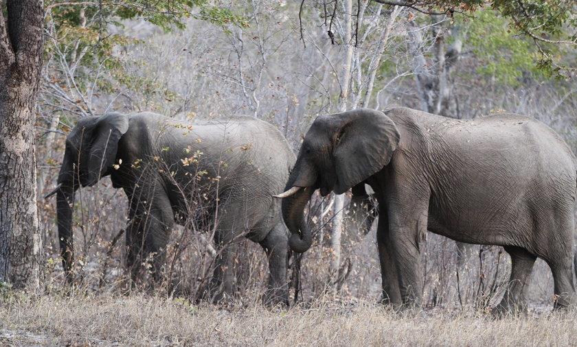 Słonie w parku w Zimbabwe