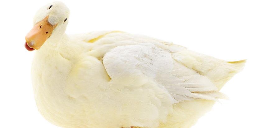 Uniwersytet w Pradze promuje polonistykę adoptując... kaczki. Dlaczego?
