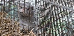 Zakaz hodowli zwierząt futerkowych będzie procedowany w Sejmie