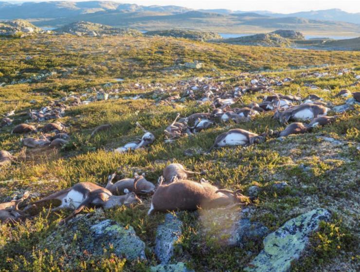 mrtvi irvasi norveška