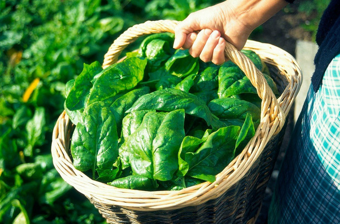 SPANAĆ (svež ili smrznut) - Povrće od kog se lako naprave porcije za jednu osobu