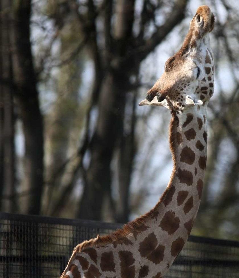 żyrafa,zoo, warszawski ogród zoologiczny