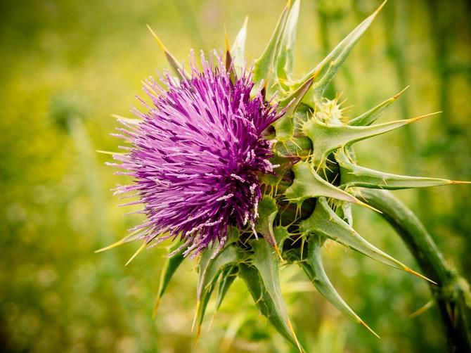 Gujina trava: Kad jetra kaže UPOMOĆ, skuvajte čaj od ove biljke
