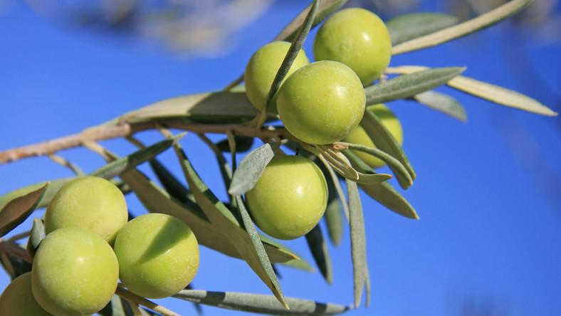 Substancje zawarte w liściach drzew oliwnych obniżają ciśnienie krwi i chronią serce