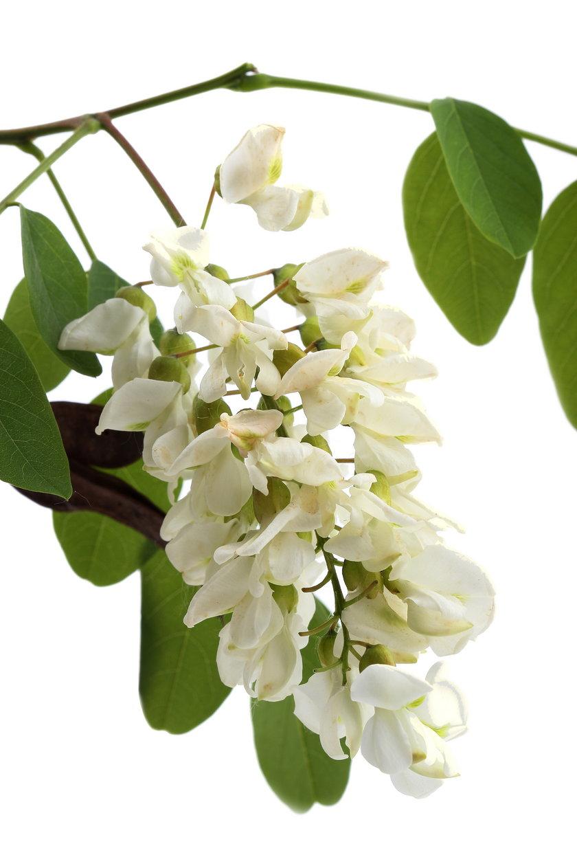 Kwiat akacji