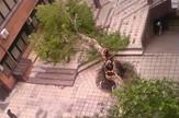 CACAK02 Jedno od najstarijih stabala u Cavcku Krenov platan foto Privatna arhiva