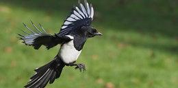Agresywny ptak zaatakował rowerzystę. Mężczyzna zmarł