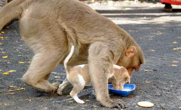 Pas i majmun