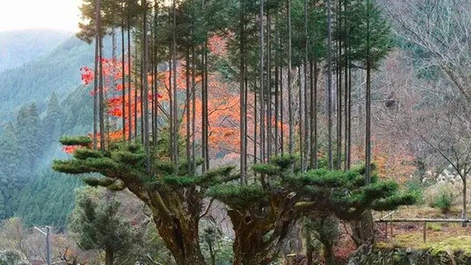 Fot: drzewo przycinane techniką daisugi, źródło: dobrewiadomosci.net.pl