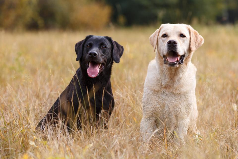 Miejsce 7: Labrador retriever