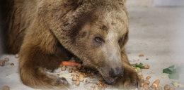 Poznańskie zoo walczy o życie misia