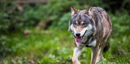 Wilków jest dużo, ale są niegroźne