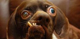 To najbrzydszy pies świata