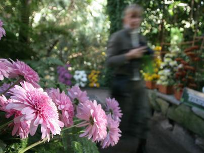 Chryzantemy to najpopularniejsze kwiaty na Wszystkich Świętych. Choć dostępne są przez cały rok, na początku listopada przypada szczyt ich popularności