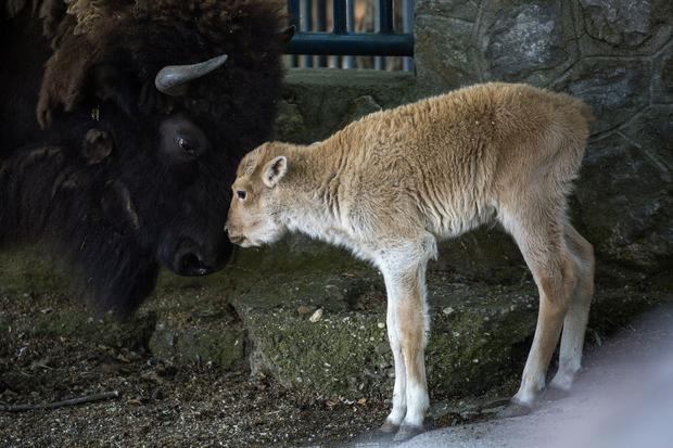 Biały bizon w belgradzkim zoo