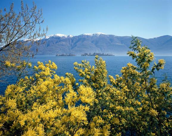 Murve su zaboravljene i nestale, ali se u Herceg Novom obnavljaju zasadi mimoze