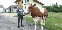 Złodzieje krów grasują na Mazowszu