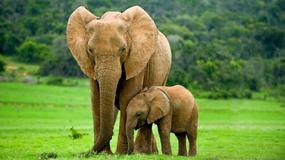 Zaskakujące zachowanie słonicy po utracie dziecka