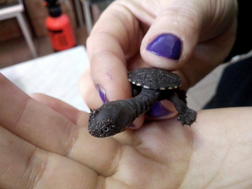 W zoo wykluł się rzadki gatunek żółwia