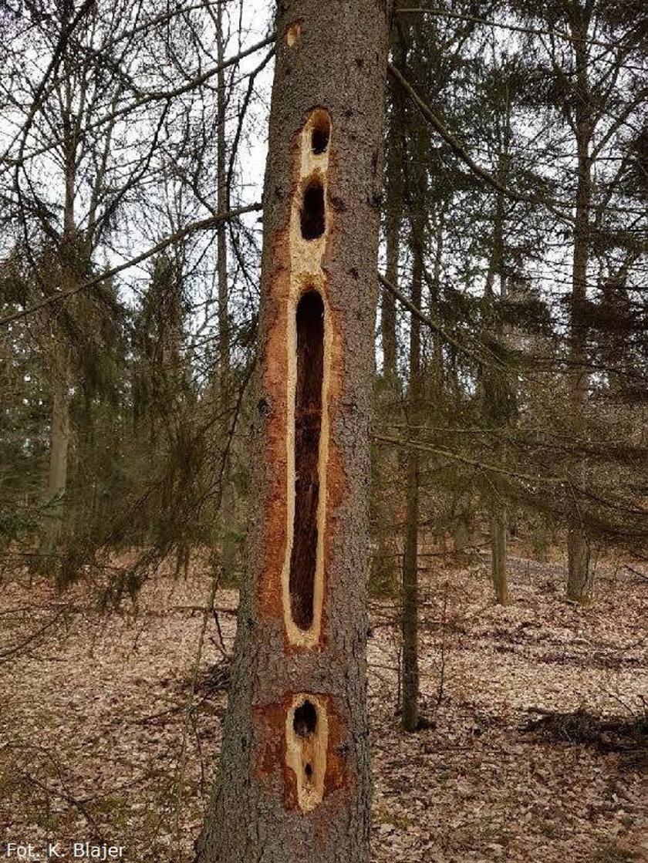 Gigantyczne dziury w drzewach. Leśnicy wyjaśniają, skąd się wzięły