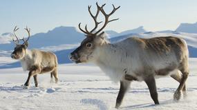 250 tysięcy reniferów na północy Syberii może zostać wybitych