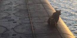 Tragiczny finał spaceru niedźwiedzi po... łodzi podwodnej