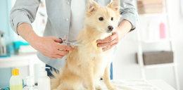 Psi fryzjer z zakazem strzyżenia! Znęcał się nad zwierzętami