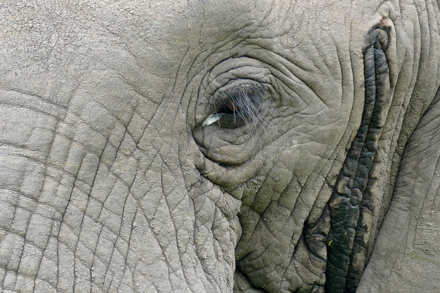 Najhranljivi deo slona je njegova glava
