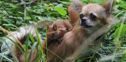 Suczka Tipi wychowuje wiewiórki