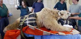 Zoperowali ogromnego niedźwiedzia