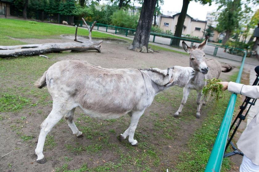 Antonina i Napoleon ze zoo w Poznaniu nie będą karane za miłość